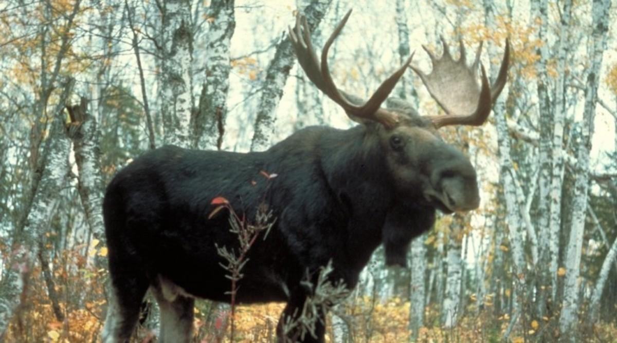 Moose_0.jpg